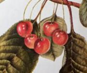 cherries detail