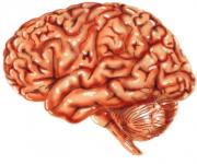 illustrazione cervello