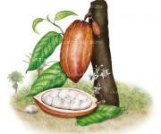 cacaoocumare bassa