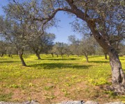 panoramica_ulivi gialli intera