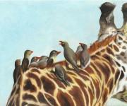 Bufaghe beccorosso su collo di giraffa