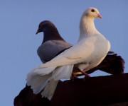 La colomba della pace