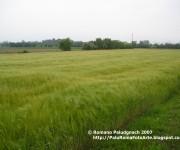 2007-04 campo spighe grano p1010045