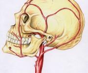 arterie della testa