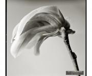 magnolia-1a