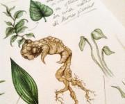 Mandrakes Detail