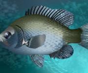 fish persicus