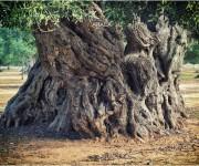 ulivo, millenario Puglia
