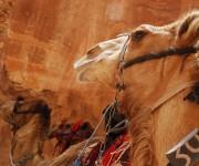 Cammelli per i turisti - Petra