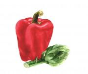 Peperone e carciofo - Illustrazione naturalistica