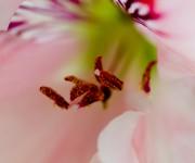 Pistil flower