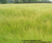 2007-04 campo spighe grano p1010042