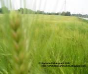2007-04 campo spighe grano p1010043