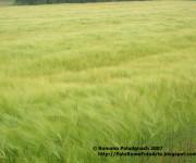 2007-04 campo spighe grano p1010046