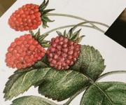 raspberries detail