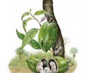 cacaochuao bassa