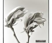 hassi magnolia315