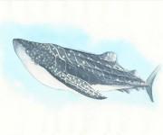 Squalo balena - illustrazione naturalistica